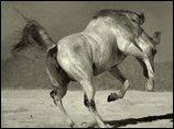 Кабардинская порода лошадей в Турции