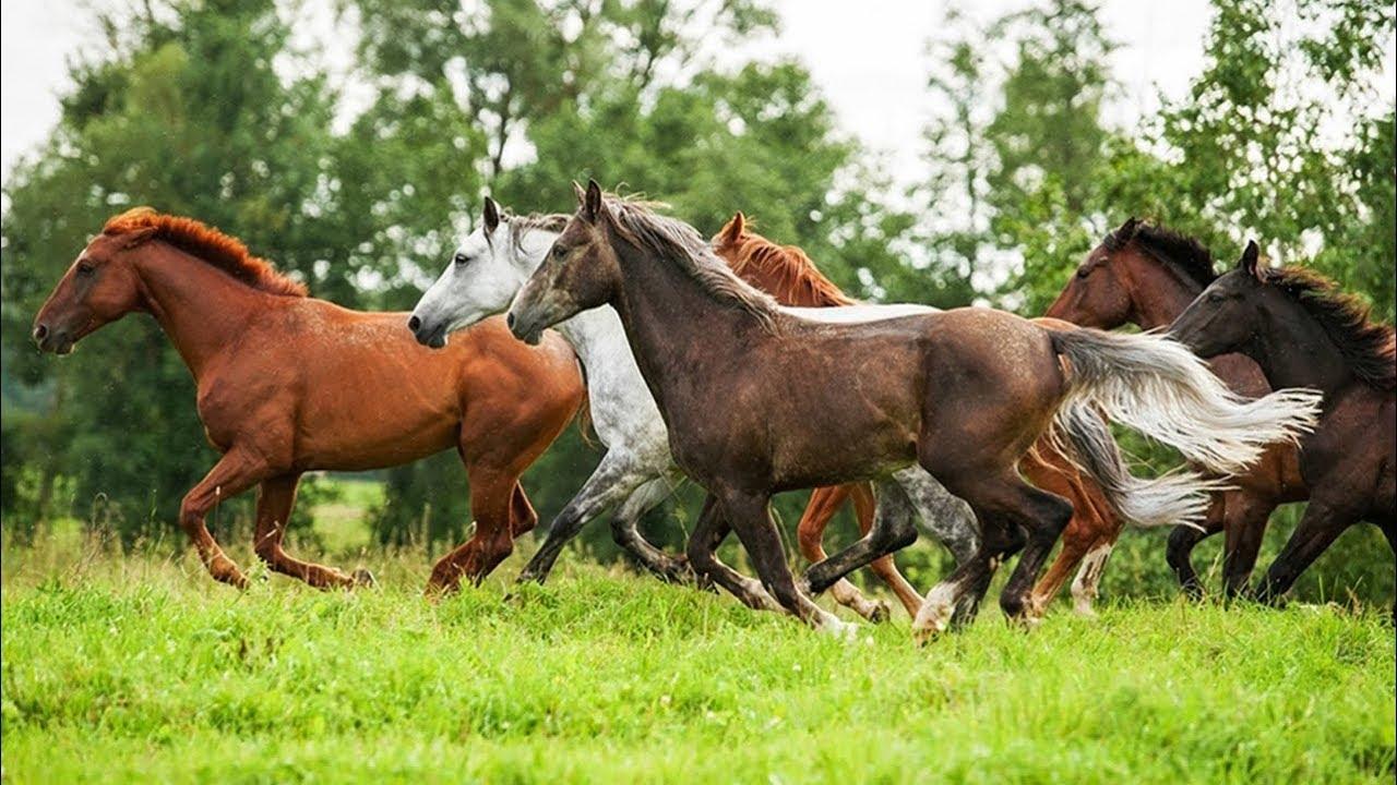 К. Кох о коневодстве
